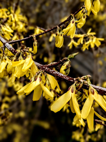 Forsythia Flower Essence || Willpower || Oregon Grown