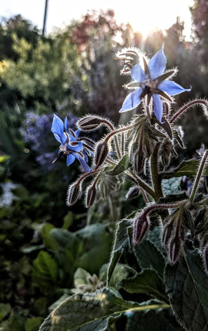 Borage Flower Essence || Light of Heart || Oregon Grown