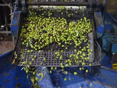 Olives going into the oil press at Bustan Haim. Credit: Dan Peretz