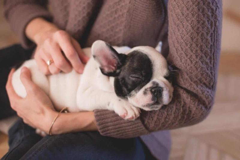 french bulldog pup sleepy