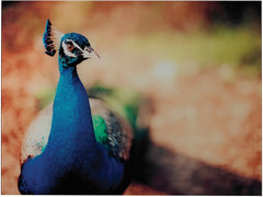 0-021627>25 inchh Peacock Photograph Printed on Glass Print
