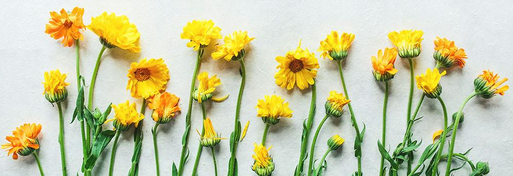 Ingredient spotlight: Calendula