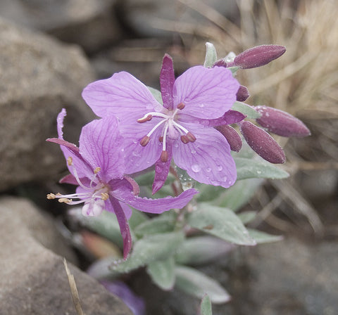 Image.Alpine.Willwoherb.Flower