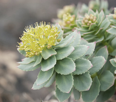 Close.Up.Arctic.Roseroot.Rhodiola.Mountain.Cactus