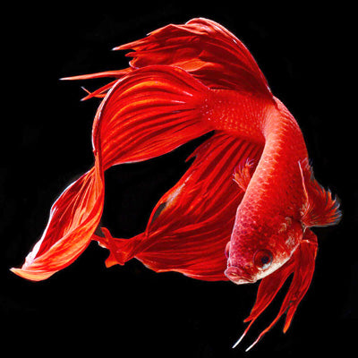 The Red Fish - 5d Diamond Painting Kit
