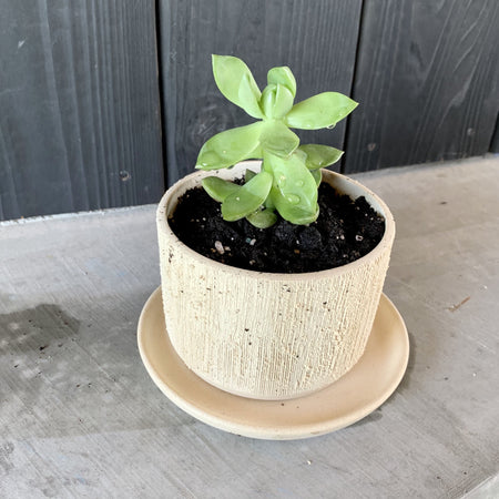 "4.5"" Relief Low Planter + Live Succulent"