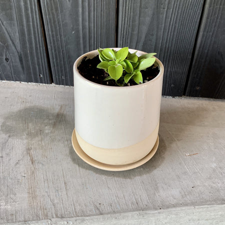 "4"" Form Planter No. 2 + Live Plant"