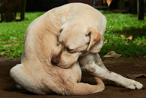 9 Natural Home Remedies For Your Dog's Itchy Skin