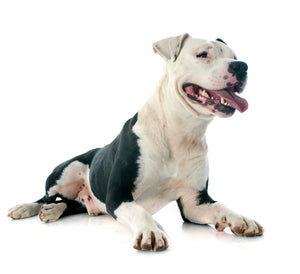 American Staffordshire Terrier - Breed Information
