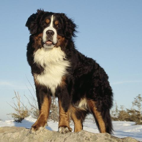 Bernese Mountain Dog Standing in Snow