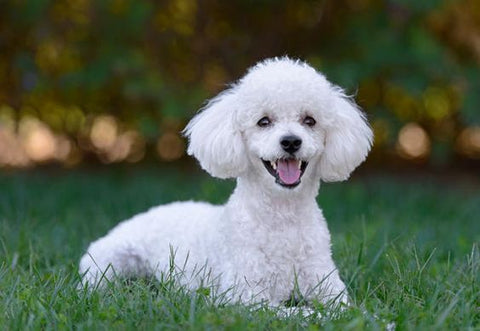 White Poodle Puppy Lying in a Field