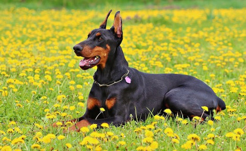 United States Doberman Lying in a Park