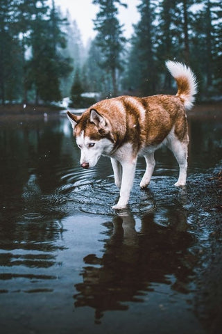 Brown Husky Standing in a Forest River