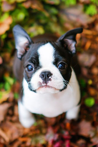 Boston Terrier with Black and White Markings