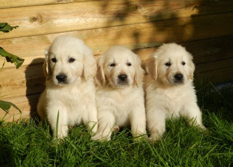 Three White Great Pyrenees Puppies