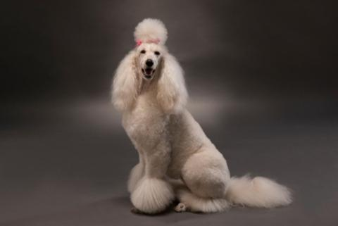 Groomed White Poodle with Pink Ribbon
