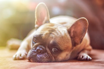 Fawn Colored French Bulldog Lying Down