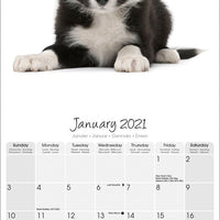 Border Collie Studio Range Wall Calendar 2021 - ProsperDog