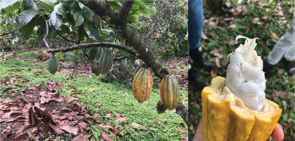 Heirloom Cacao