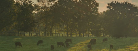 sustainable-grass-fed-grass-finished-organic-beef-farming-ecp-friendly