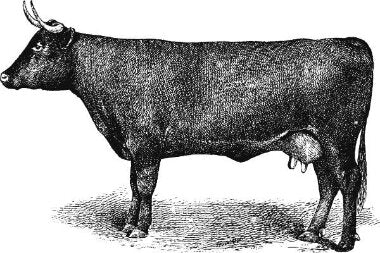 trubeef-grass-fed-beef-cattle