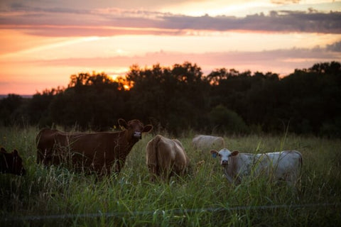 grass-fed-organic-beef-farm-oxtail-beef-offal-steaks-pasture-raised