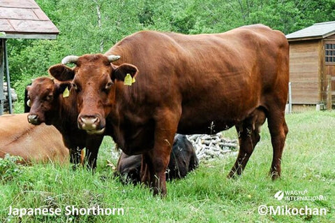 wagyu-short-horn-beef-cattle-a5-wagyu-what-is-problem-with-wagyu