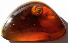Shell Inclusions in Amber