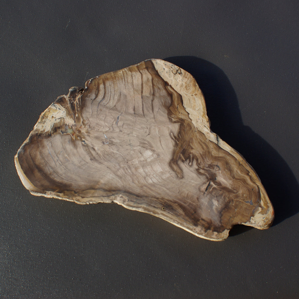 Tasmanian Fossil Wood from Milton for sale