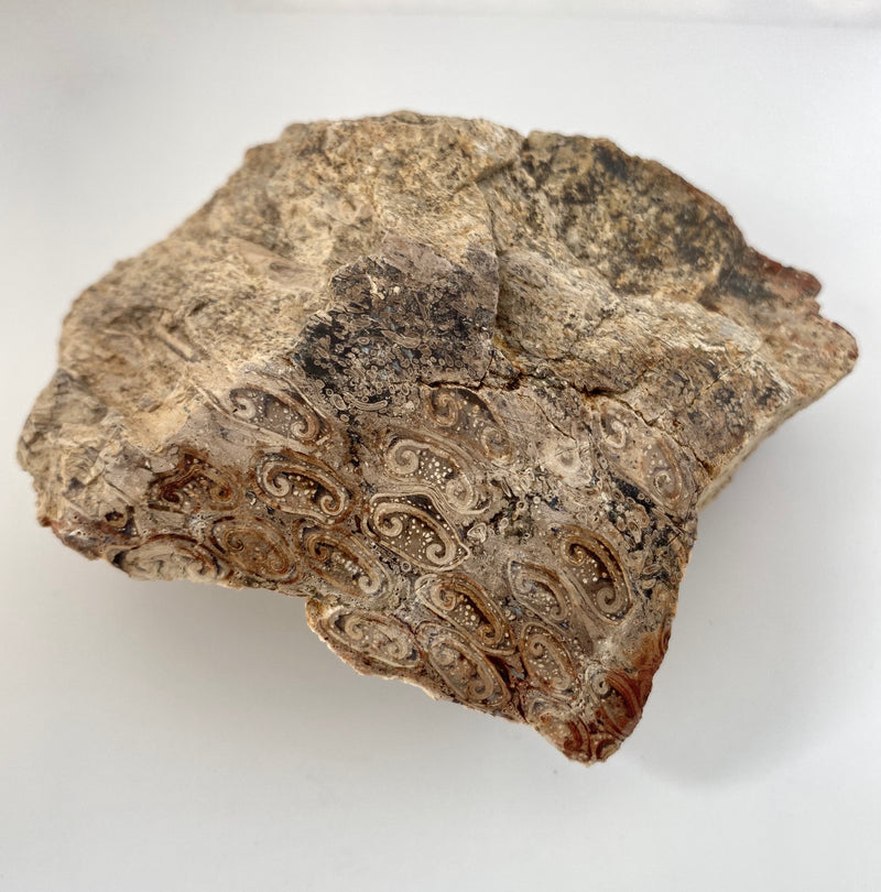 Tasmanian Fossil Fern found by Rare and Beautiful