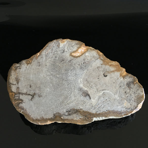 Coles Bay wood fossil