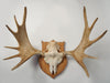Antique Swedish Elk Skull and Antlers on Shield