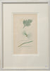 Antique Original Seaweed Hand Coloured Engraved prints by James Sowerby