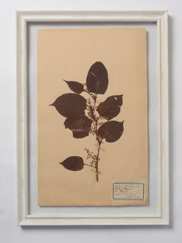 Beautiful Framed Antique French Herbier 4