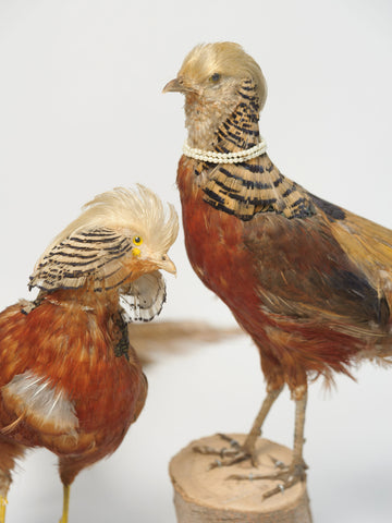 Pair Vintage Golden Pheasants Taxidermy Birds