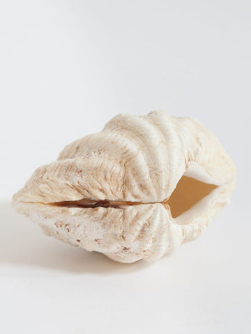 Beautiful Small Complete Clam Shell