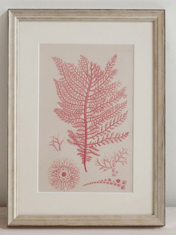 Antique 19th Century Handcoloured Seaweed Prints, mounted and framed - Decorative Antiques UK  - 1