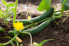 how to plant cucumber cucumber on vine