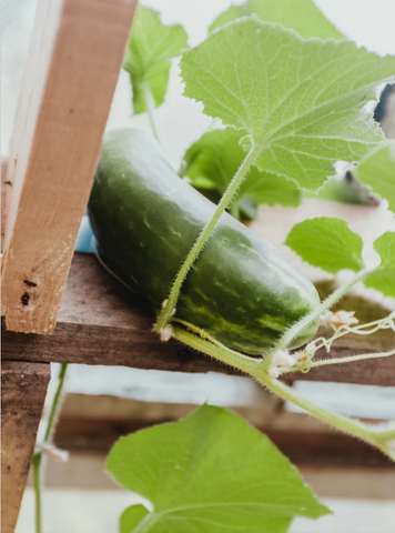 how to plant cucumbers and tomatoes