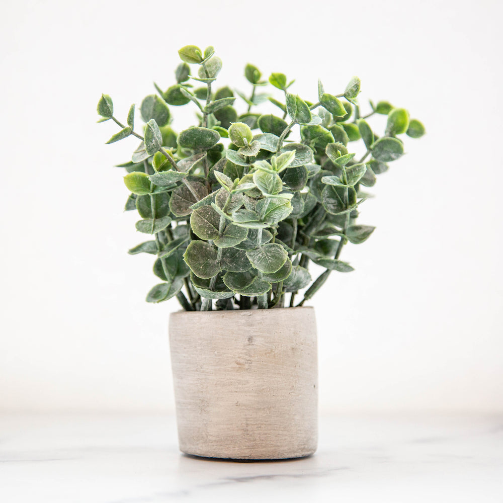 Boxwood Sage in Cement Pot