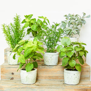 Load image into Gallery viewer, Herb Plants in Pots