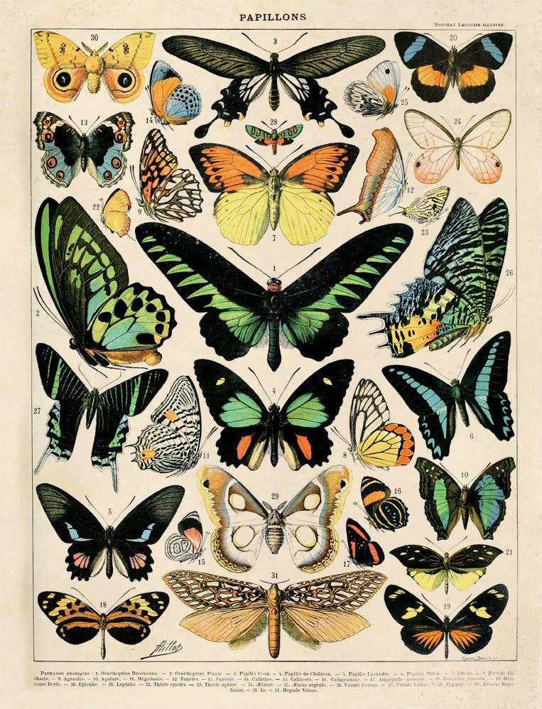 "Vintage Natural History French Butterfly 1 Print - 11"" X 14"""