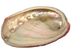 "Red Abalone Shell 2-3""L"