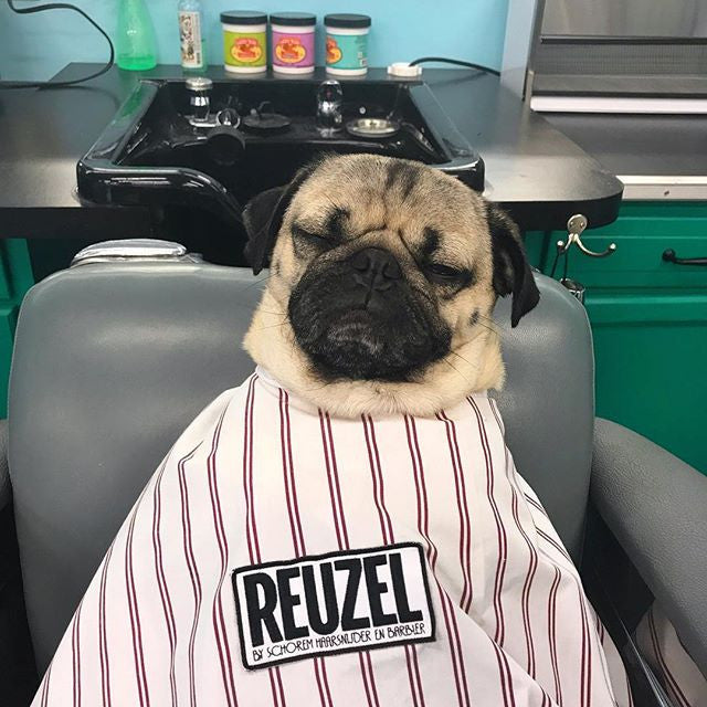 Pug sitting on a barber chair, waiting for his haircut.