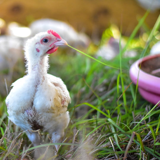 Moving our Pasture Raised Chickens Regeneratively