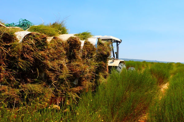 rooibos being harvested