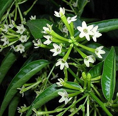 Night Blooming Jasmine