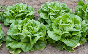 1,500 Buttercrunch Lettuce Seeds