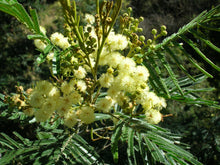 Load image into Gallery viewer, 100 Acacia mearnsii Seeds ~ Black Wattle Seeds