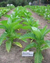 Load image into Gallery viewer, Bolivian Criollo Black Tobacco Seeds - Nicotiana Tabacum